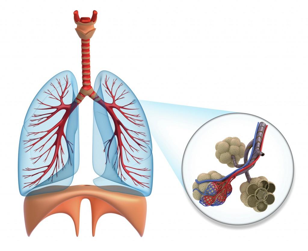 Alveoles-poumons-pranayama